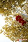 □在塔城市团结路,黄叶和红灯笼相得益彰。