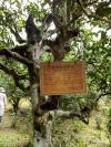 景迈山的古茶林系当地布朗族、傣族先民所驯化、栽培,至今已有1828年历史。