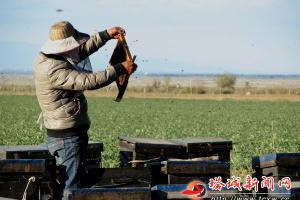 蜜蜂作媒 农业增效