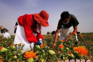 党员干部义务  帮村民采摘红花丝